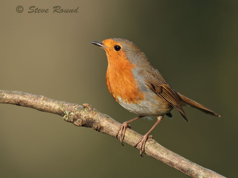 bird, robin, nature, wildlife