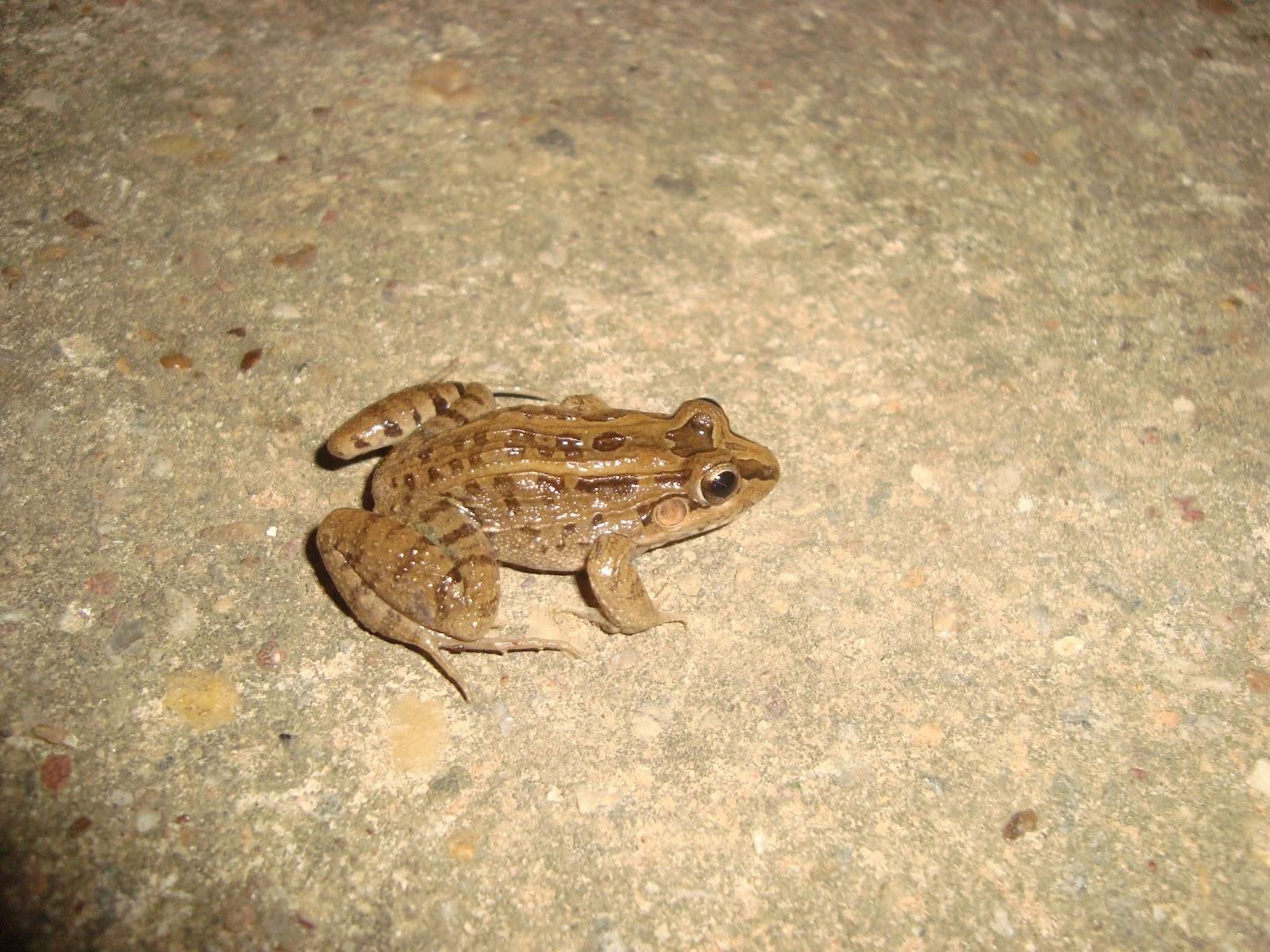 http://4.bp.blogspot.com/-h3ysTIhi5J8/UCxNFMdVHYI/AAAAAAAAAF4/fbARLuNT1zI/s1600/Ca%C3%A7ote+ou+R%C3%A3+manteiga+(Leptodactylus+ocellatus)3.JPG