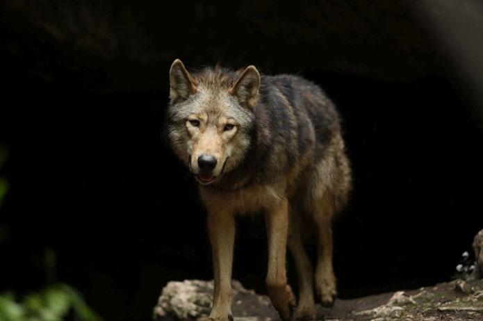 Loup du court-métrage The Promise réalisé par Gabriele Salvatores pour Almo Nature