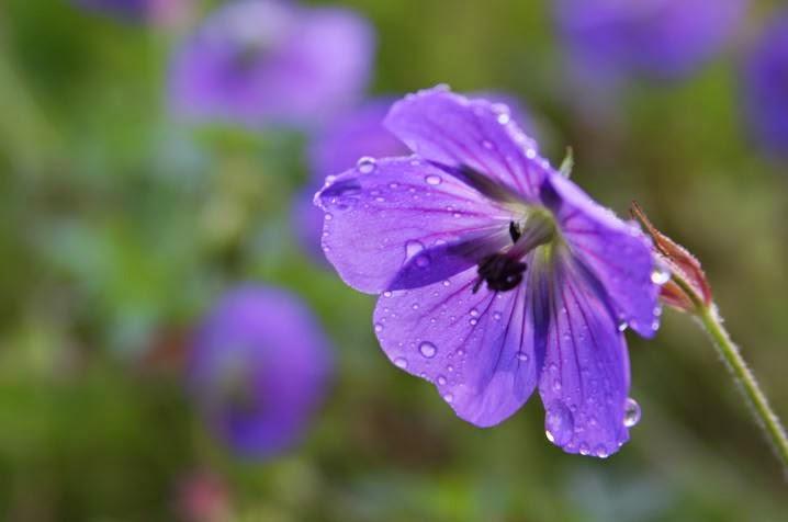 Fleurs de printemps - Le géranium