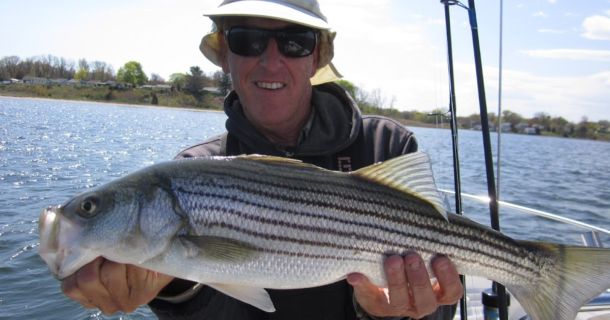 Rhode island striped bass fish spreading out in bay for Best striper fishing spot in ri