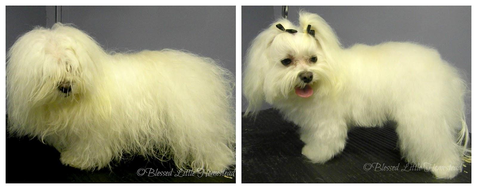 Groomer Nicole: Grooming Drop Coated Dogs