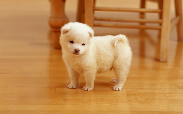 White Cute Dogs