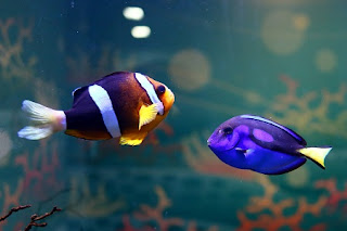 Amphiprion ocellaris (Left), Paracanthurus hepatus (Right)