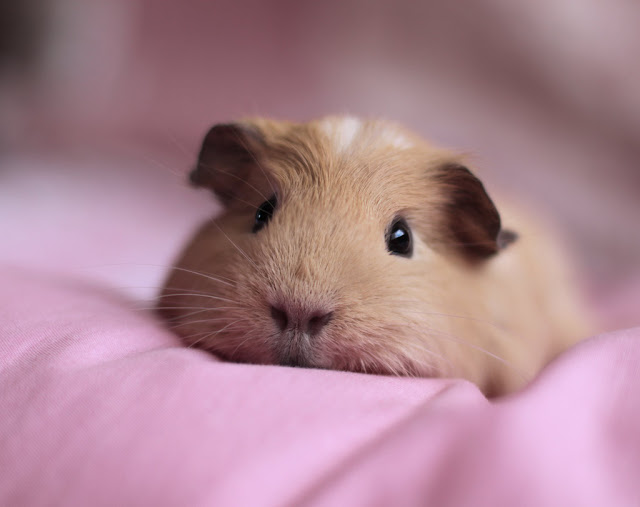 funny animals, cute hamster