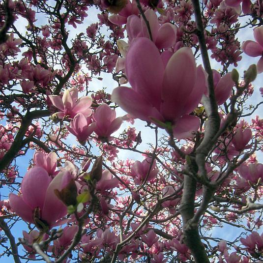 Magnolia, Verbanica, Saucer