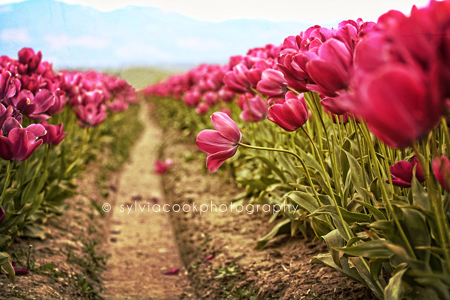 long rows of pink tulips in the Skagit Valley Washington state