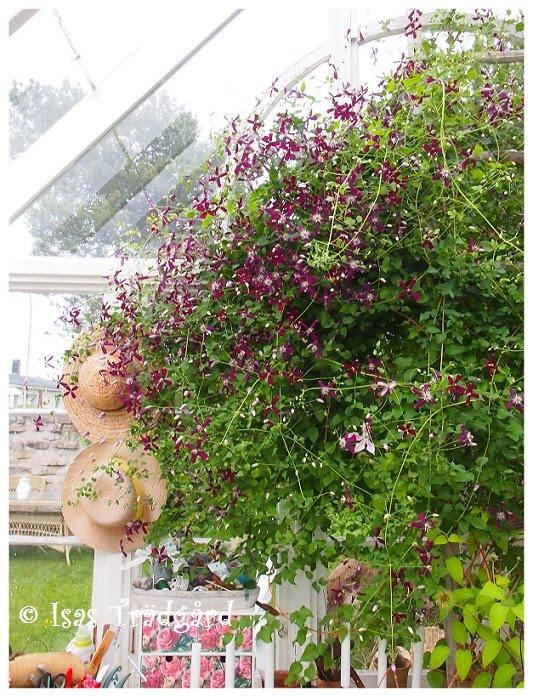 Sweet summer snow blommar i växthuset