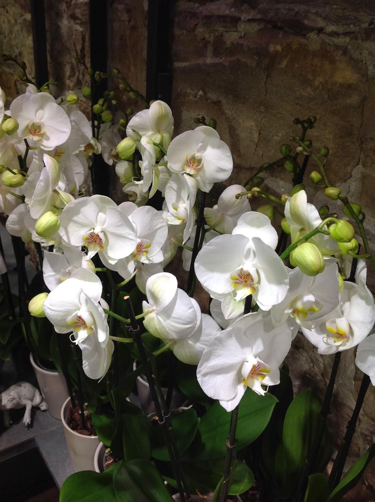 le blog de clesa comment faire refleurir son orchid e phalaenopsis. Black Bedroom Furniture Sets. Home Design Ideas