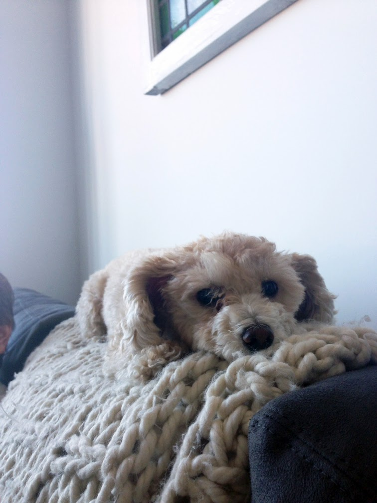 Chloe toy poodle cozy