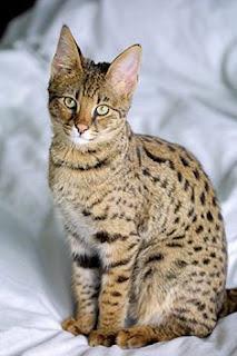 7 Kucing Termahal Di Dunia