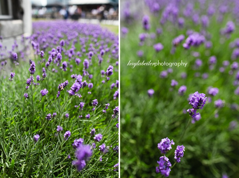 lavender in london photo