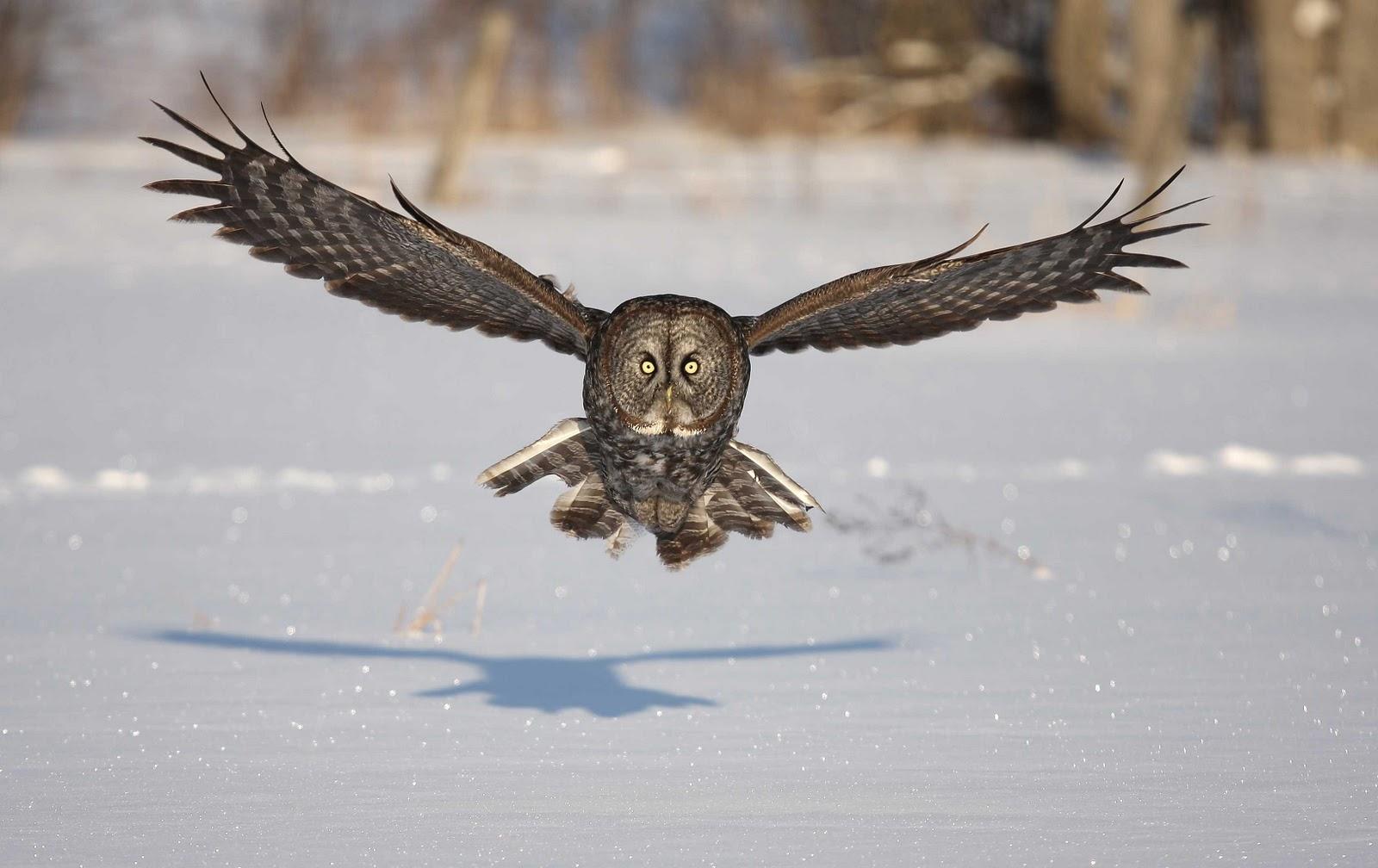Great Grey Owl Flying Flying Animal: The Gre...