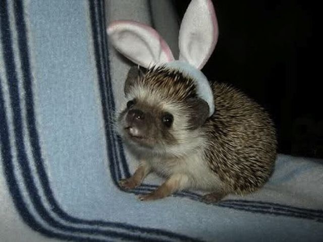 funny animals, animal pictures, hedgehog wears bunny ears
