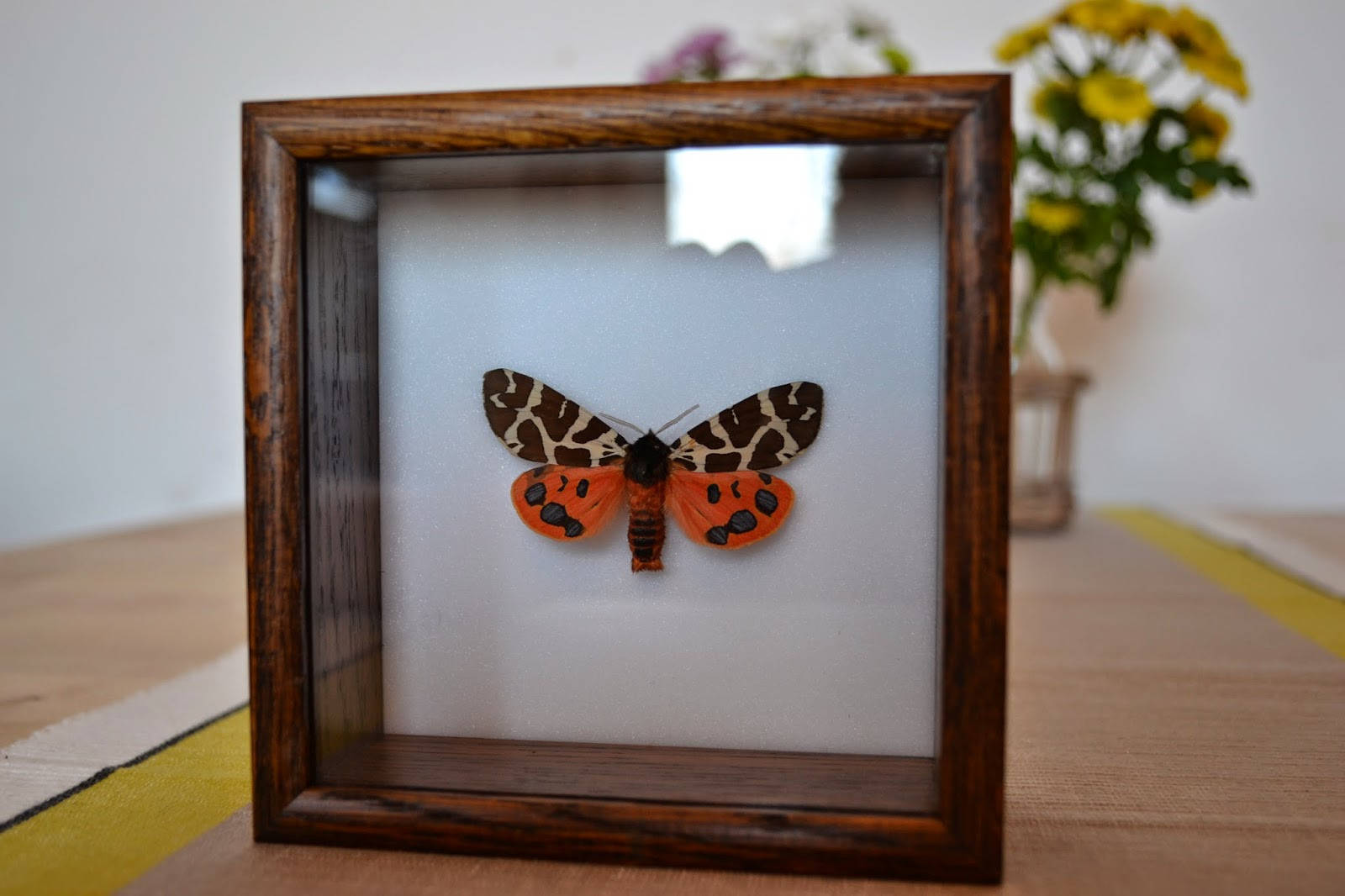 Mounted orange garden tiger moth in wooden case
