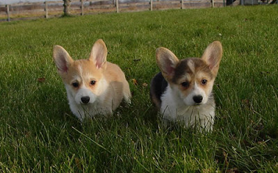 Corgi Puppy Pictures