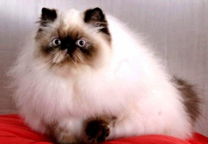 Jenis Kucing Paling Populer Di Indonesia