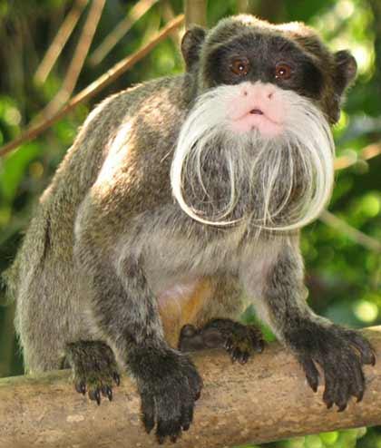 Emperor Tamarin | Animal Wildlife