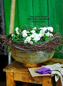 Vårplantering / Amelia