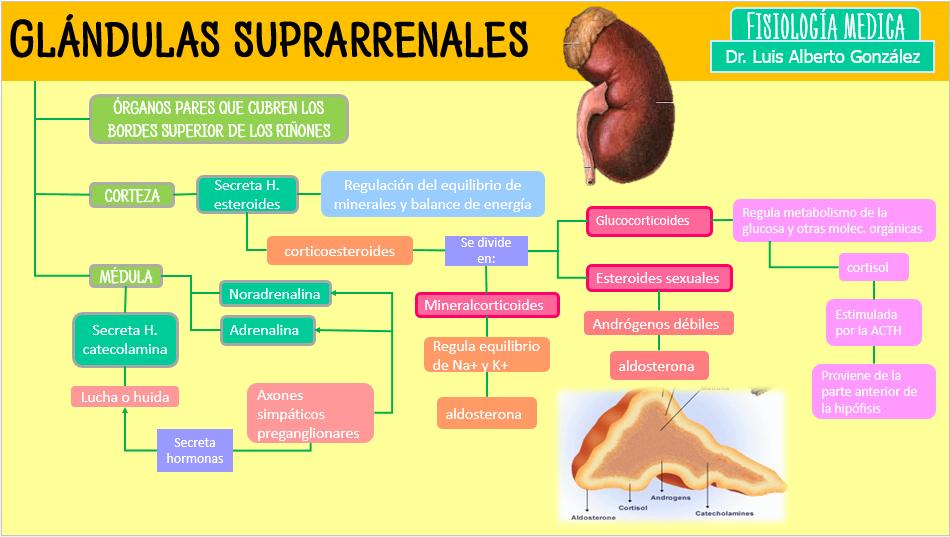 Yolva de Fisiologia: Glándulas Suprarrenales.