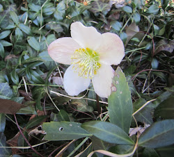 Lenten Rose Blooming very early!