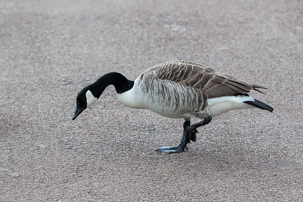 Canada Goose - Lodge Lake, Milton Keynes