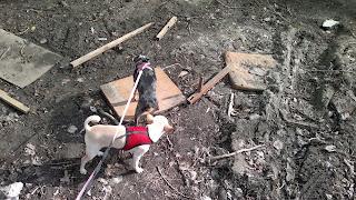Мои собаки чихуахуа Кокос, и Сонька, той-терьер