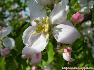 Zapylacze dla jabłoni