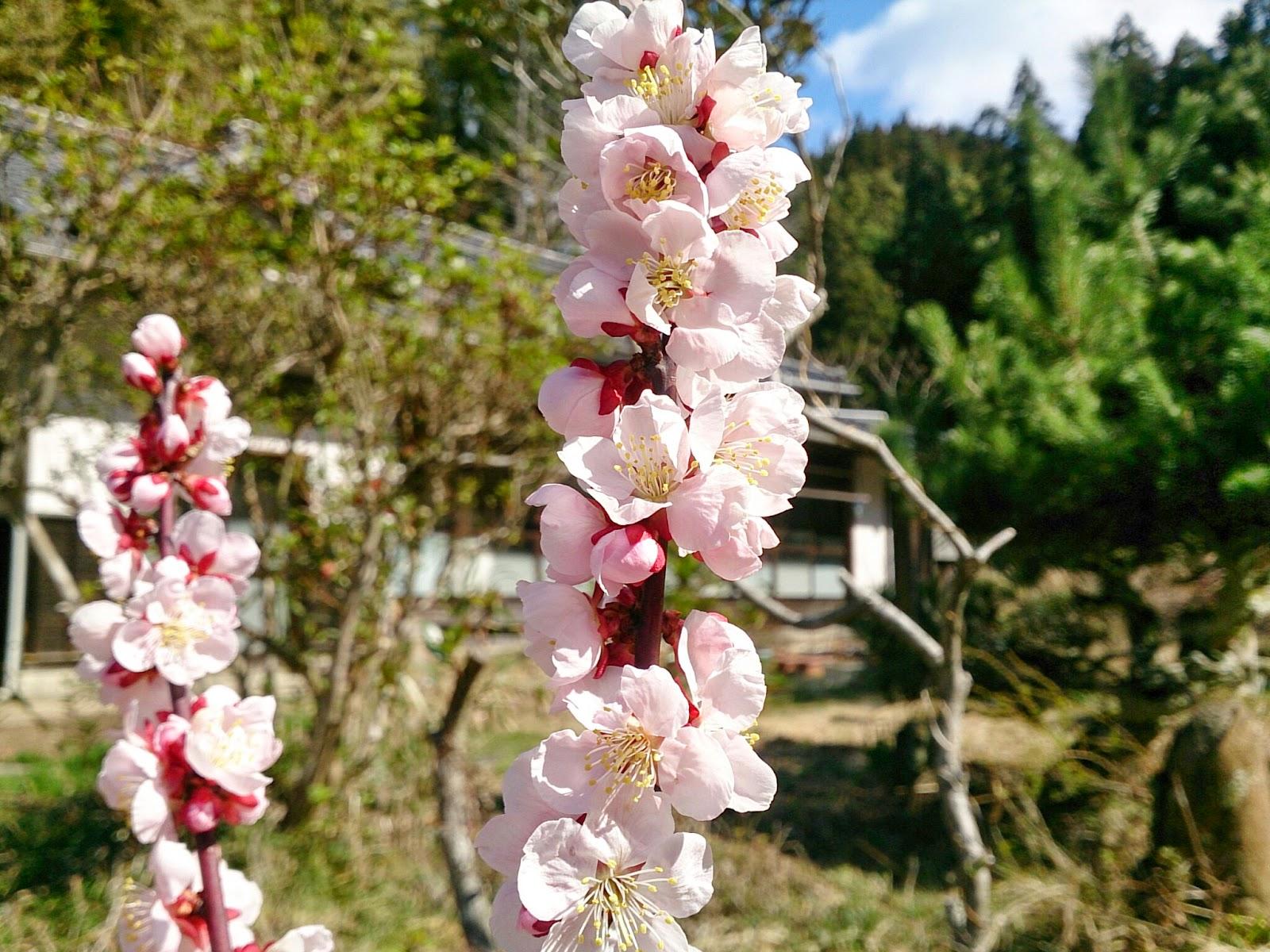 梅の花(豊後)