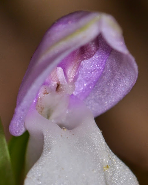 hood of the Showy Orchis - Galearis spectabilis