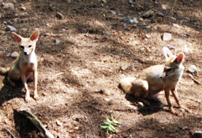 fox, two foxes, fox kittens, fox puppies