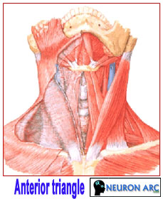 Anterior triangle: Boundaries, Division, Contents of anterior triangle