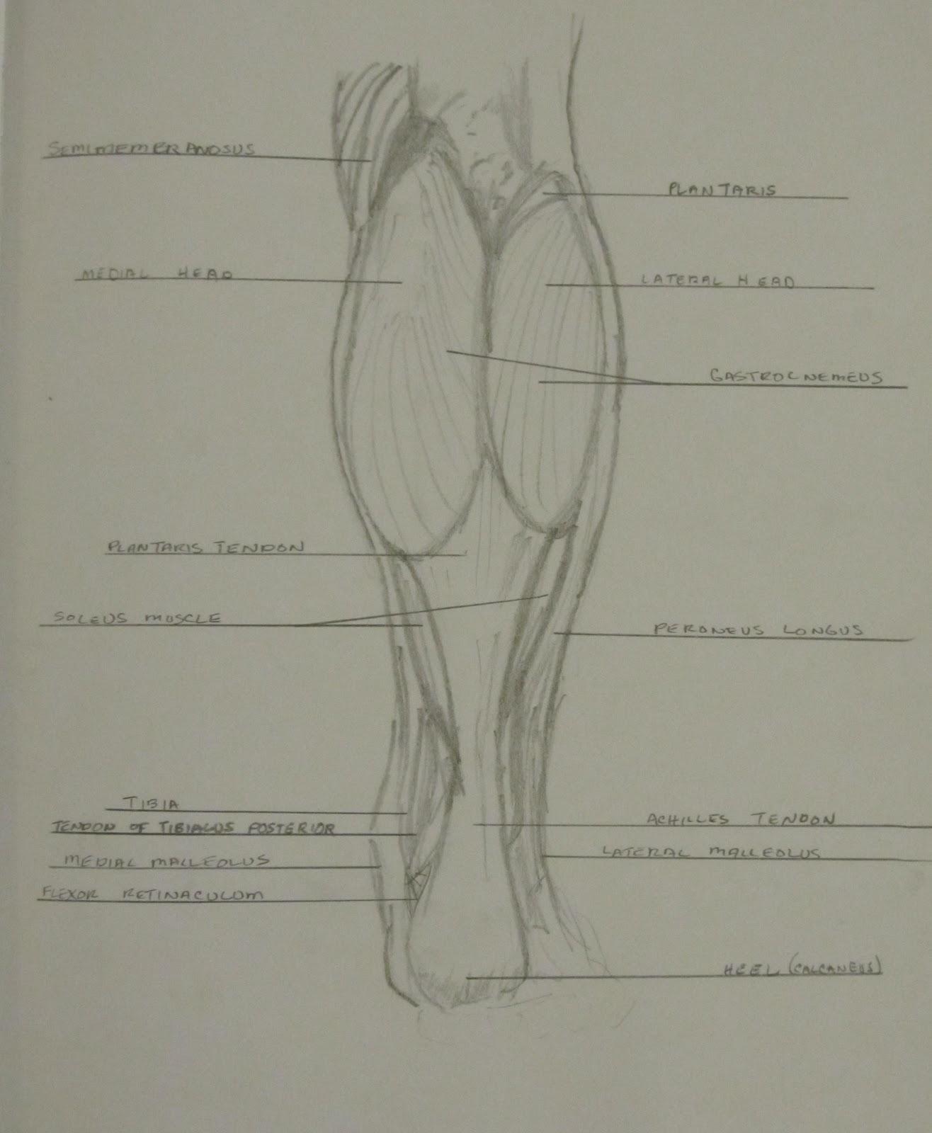 leg muscles drawing - photo #19
