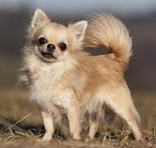 Chihuahuas picture
