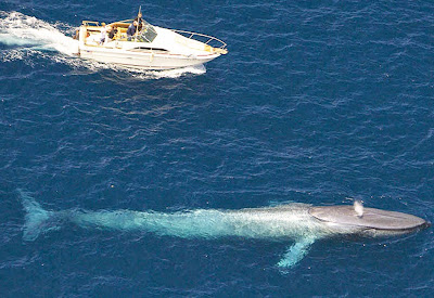 Baleia azul - maior animal da terra