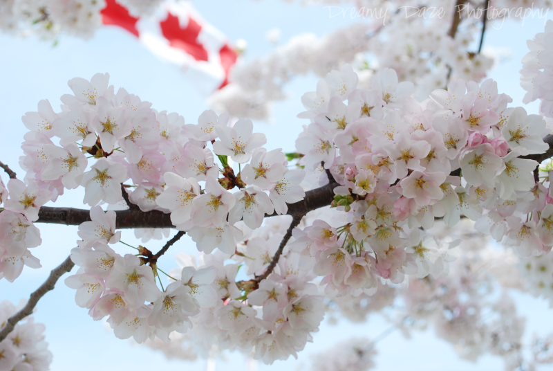 toronto exhibition place cherry blossoms spring peak season floral flowers blooms park