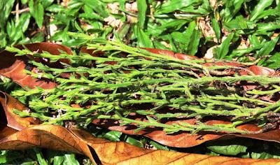 rumput jarum emas