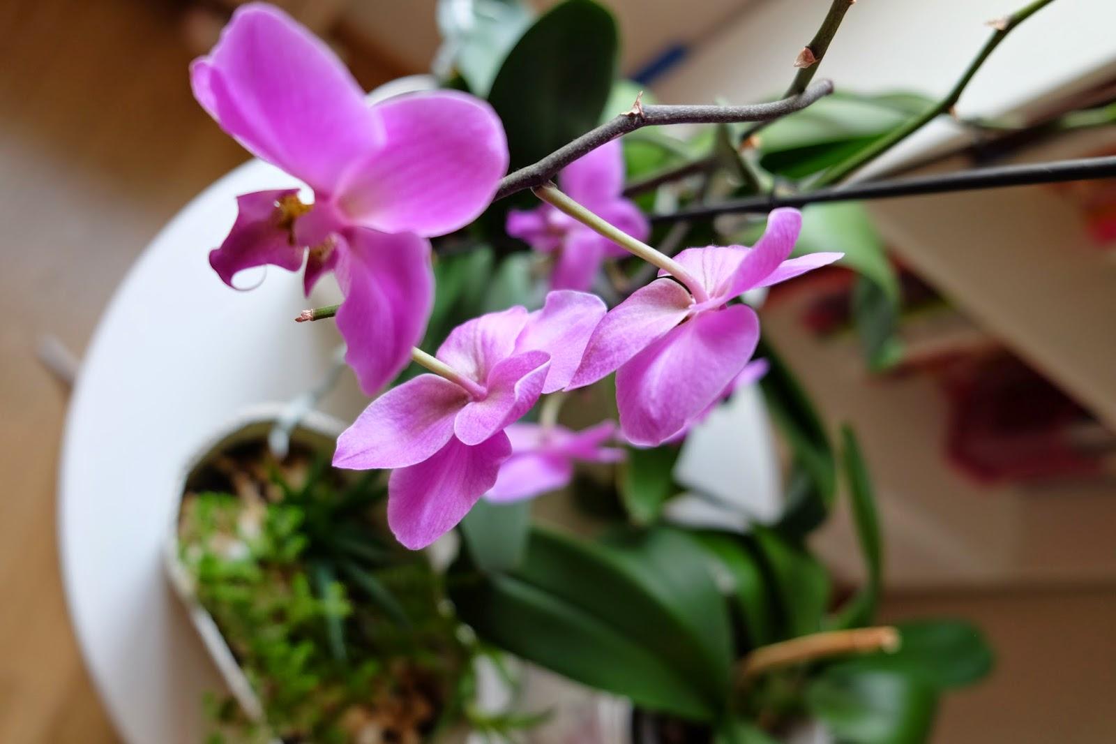 evde-orkide-yetistirmek