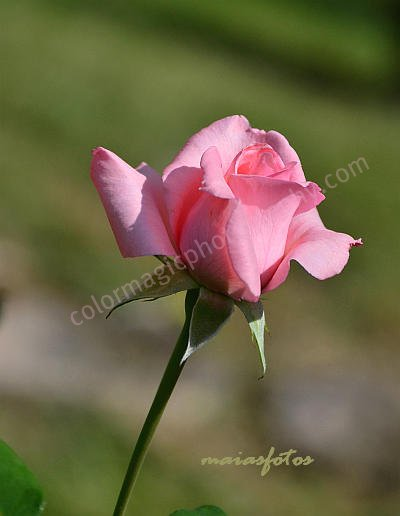 Pink rose on green background-closeup