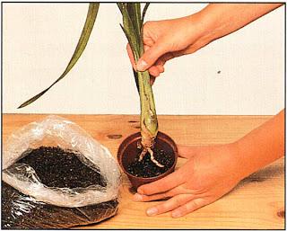 Посадите их индивидуально и всегда используйте только специальную почвенную смесь для орхидей