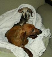 Two senior dachshunds enjoying some cuddle time