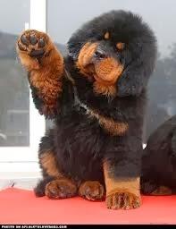 Chó ngao tạng