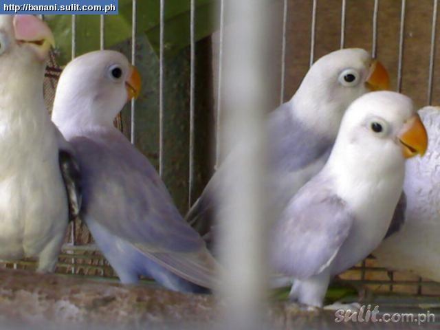 Beautiful Love Birds 1