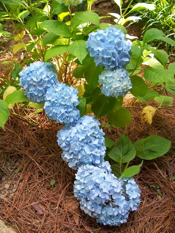 Beautiful, blue hydrangeas in full bloom with pine needle mulch