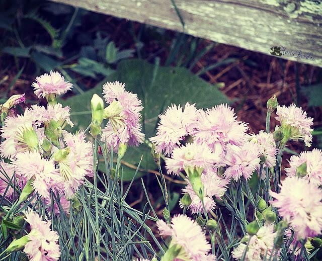 flori herghelia mangalia