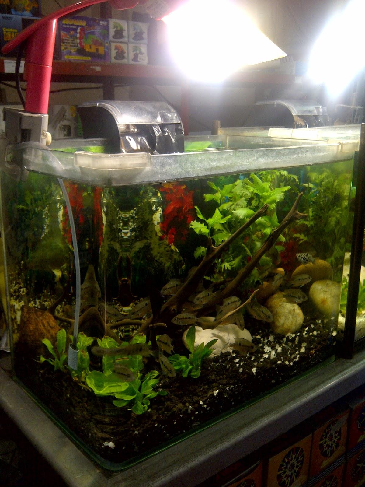 Rejeki Aquarium Nikita Size L Ukuran 40 X 25 28cm Dekorasi Di Atas Ini Mengunakan Pasir Malangwarna Hitam Dan Merk Koun Sudut Kaca Depan Kiri Kanan Tanpa Sambungan