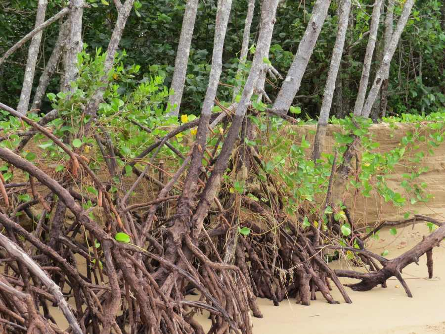 Rhizophora roots.