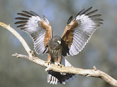 Que significa soñar con halcon