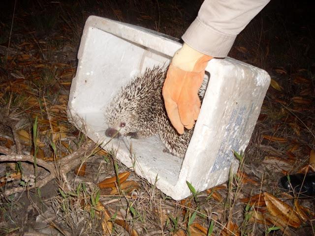 Ouriço sendo solto em Goiás