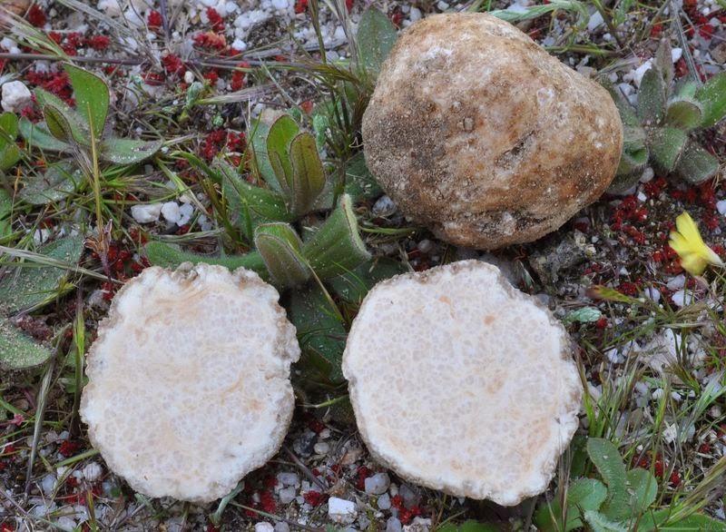 Terfezia arenaria - Patata o criadilla de tierra